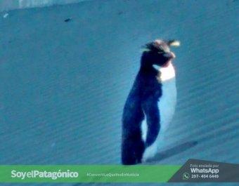 pinguino penacho amarillo.RadaTilly