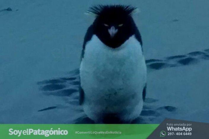 pinguino penacho amarillo.RadaTilly00
